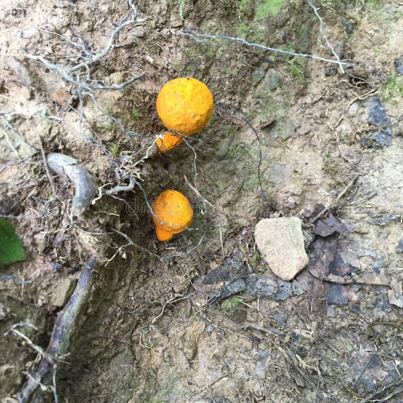 Hongos anaranjados imagenes de archivo