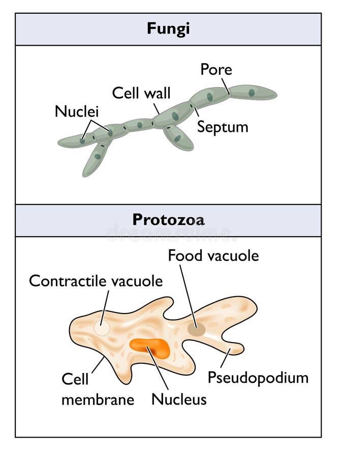 Hongos y protozoos ilustración del vector