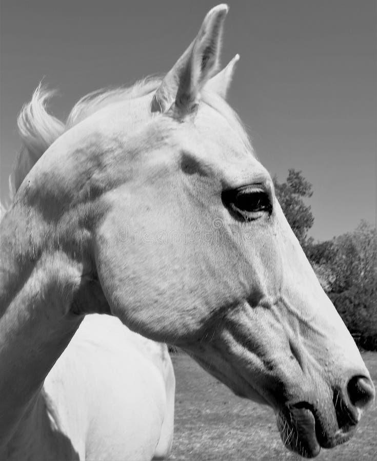 Hongre blanc beau photo libre de droits