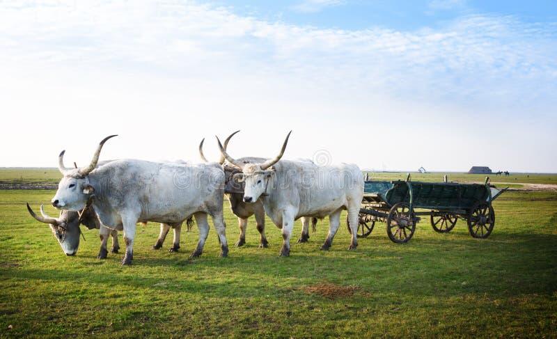 Hongrois Csikos ou bergers avec le Hongrois traditionnel Grey Steppe Pair de ressortissant de Hortobagy photo stock