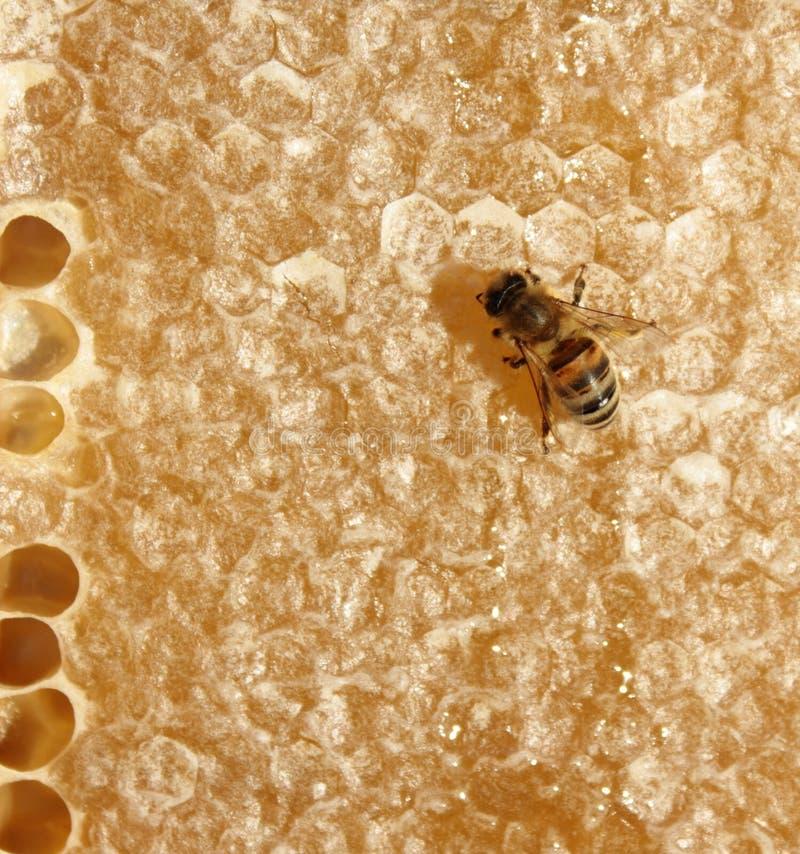 Download Honig-Biene auf Bienenwabe stockfoto. Bild von frisch - 26364296