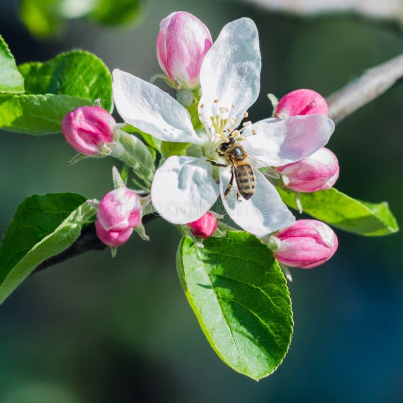 Honigbiene auf der Blume lizenzfreies stockfoto