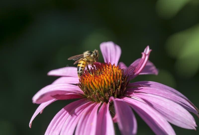 Honigbiene auf Echinaceablume lizenzfreie stockfotografie