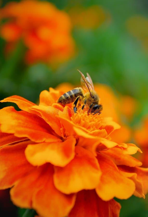 Honigbiene auf einer Blume stockfotos