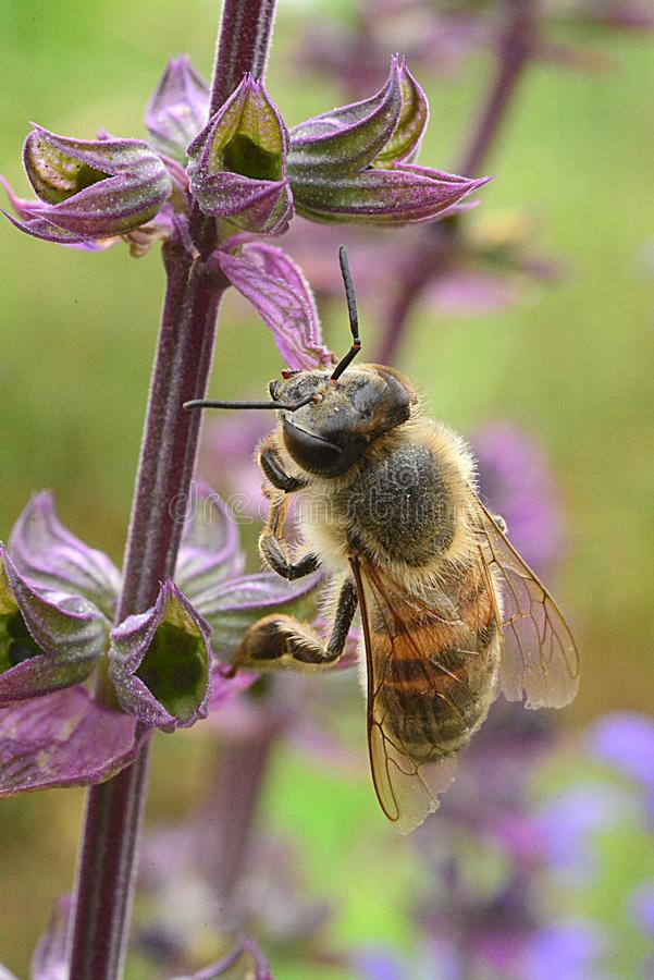 Honigbiene auf einer purpurroten Blume lizenzfreie stockbilder