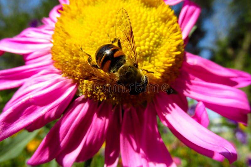 Honigbiene auf einer schönen Blume lizenzfreies stockfoto