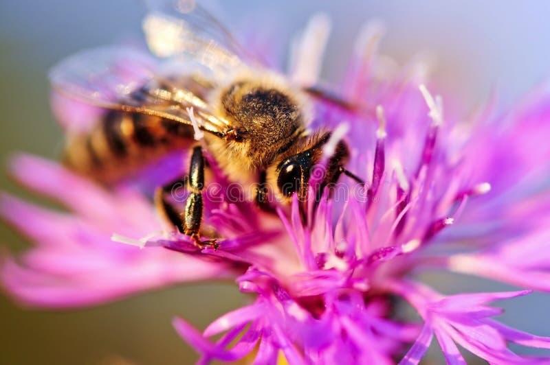 Honigbiene auf Flockenblume lizenzfreie stockfotos