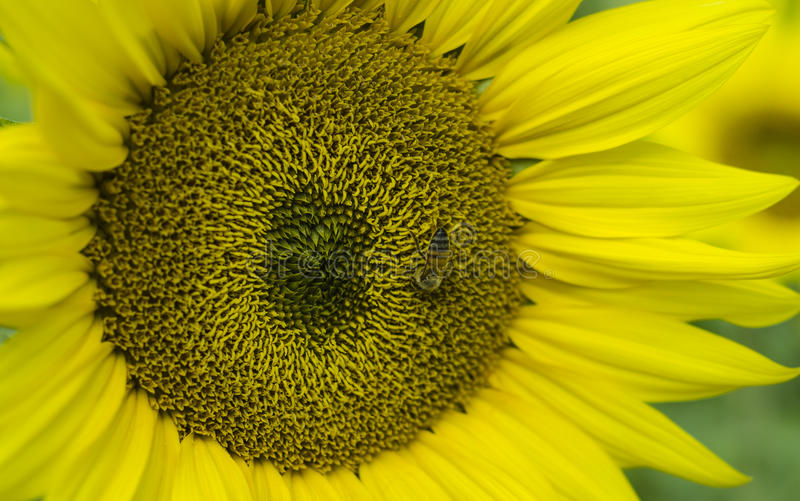 Honigbiene auf Sonnenblume lizenzfreies stockfoto
