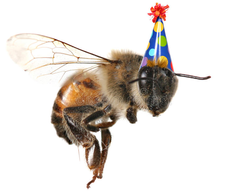 Honigbiene auf weißem Hintergrund mit Geburtstag-Hut lizenzfreie stockfotografie