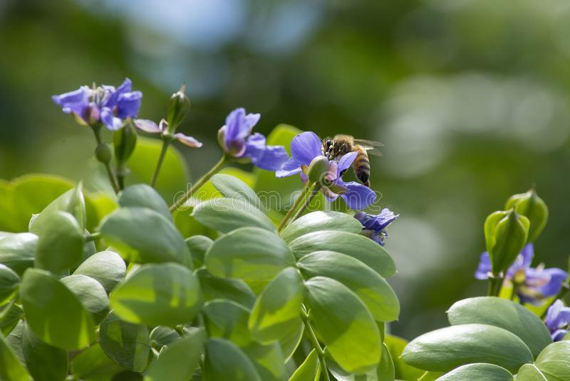 Honigbiene, die Blütenstaub von den purpurroten Blumen eines Lignum-Vitae-Baums erfasst stockfotos