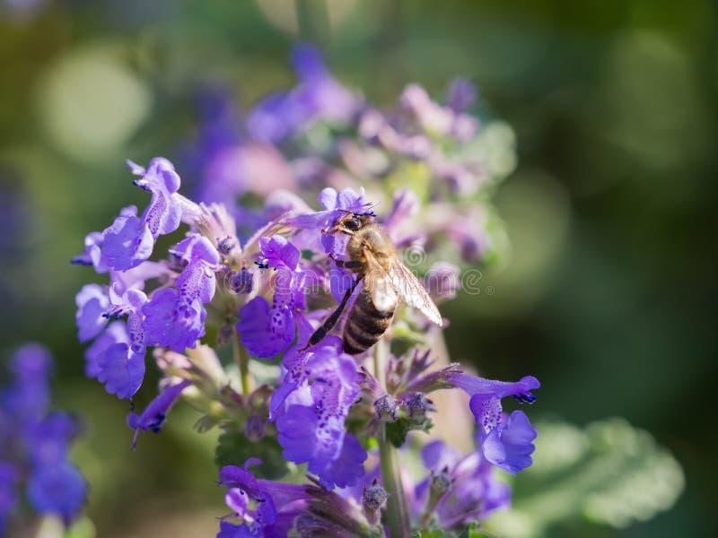 Honigbiene, die Blütenstaub von Nepeta cataria Katzenminze, catswort, Catmint sammelt stockfotos