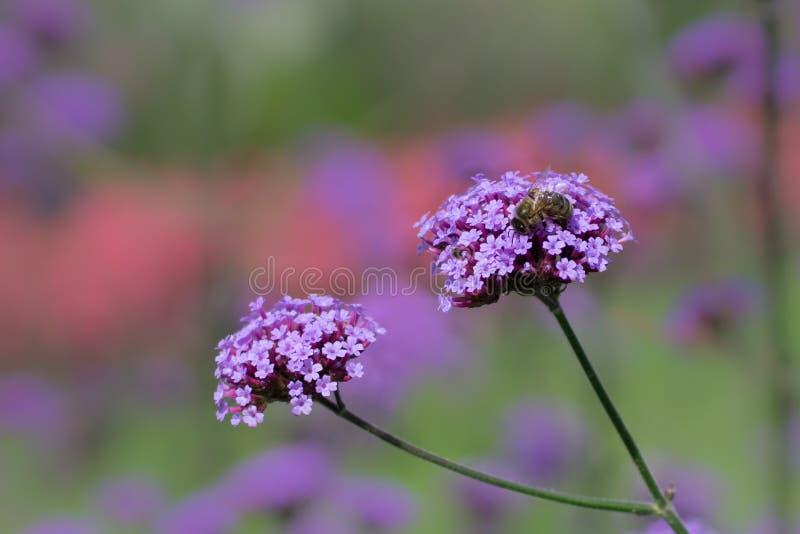 Honigbiene, die Bl?tenstaub von der sch?nen rosa Verbeneblume im Sommer sammelt lizenzfreies stockbild