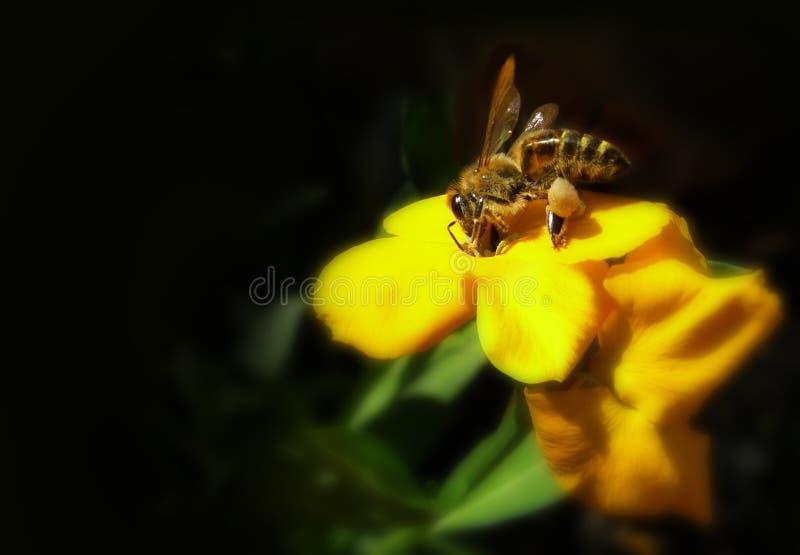 Honigbiene, die ein Blütenstaub montiert stockfotos