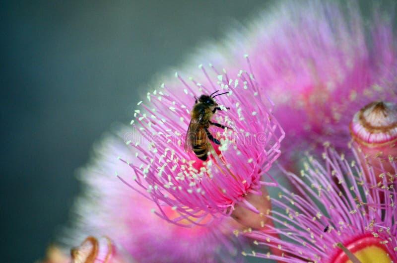 Honigbiene, die eine rosa Australier Corymbia-Blüte bestäubt lizenzfreie stockbilder