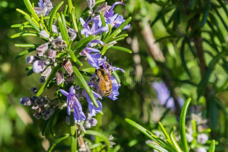 Honigbiene, die eine Rosmarinblume, Kalifornien bestäubt lizenzfreie stockfotos