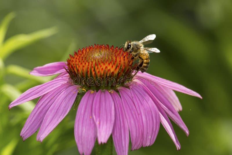 Honigbiene, die für Nektar auf einer purpurroten Kegelblume, Connecticu herumsucht stockfotos