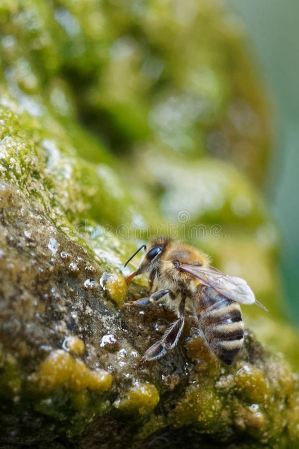 Honigbiene, die an gut trinkt stockfotografie