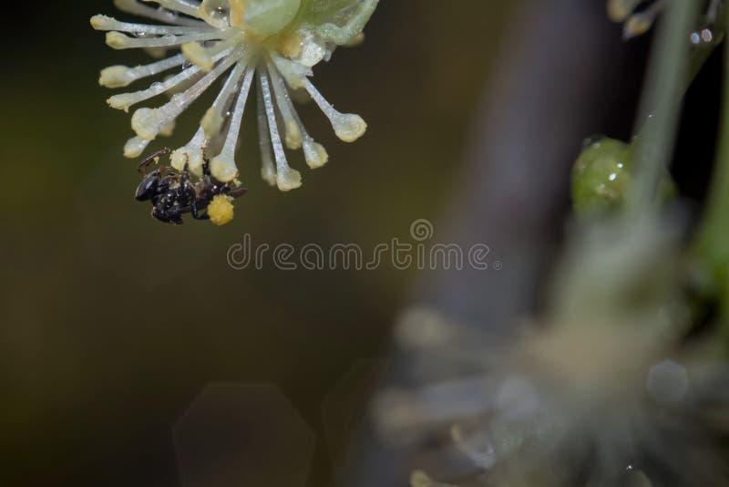 Honigbiene, die Nektar und Blütenstaub von der Blume sammelt lizenzfreie stockfotografie