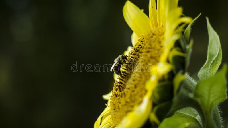 Honigbiene, die Nektar von der Sonnenblume sammelt lizenzfreies stockbild