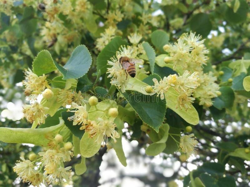 Honigbiene in einem blühenden Limettenbaum stockfotos
