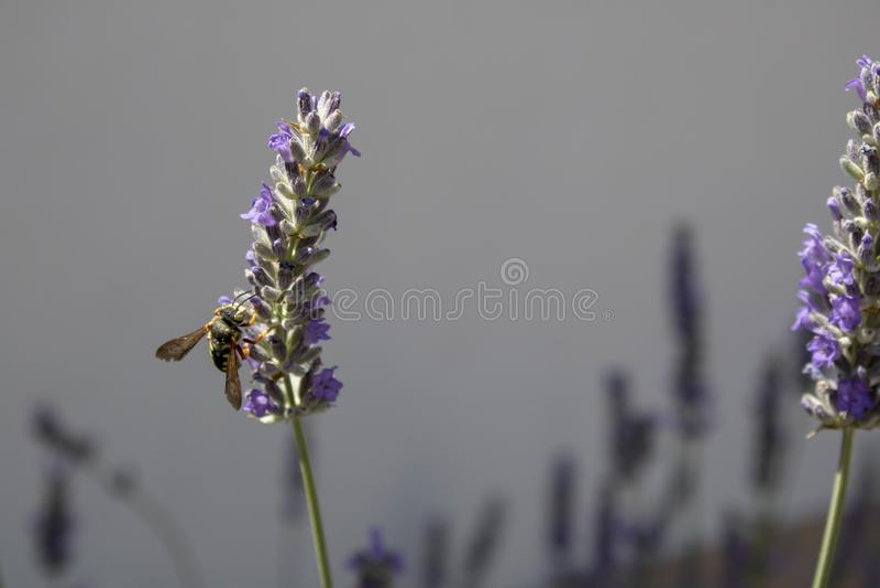 Honigbiene ist auf dem nahen Trieb von Lavandula angustifolia Anlage stockbilder