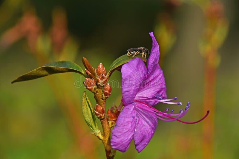Honigbiene am purpurroten Azaleenblumenabschluß oben lizenzfreie stockfotos