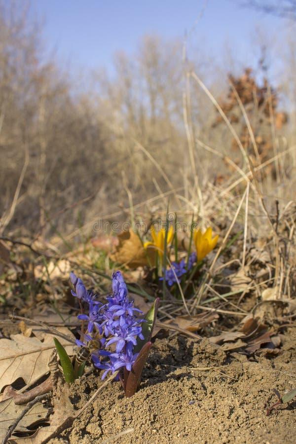 Honigbiene sammelt Nektar und Blütenstaub vom blauen Blume Scilla-bifolia im Wald lizenzfreies stockfoto