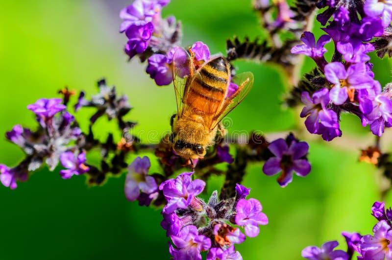 Honigbiene und schöne purpurrote Blume stockbild