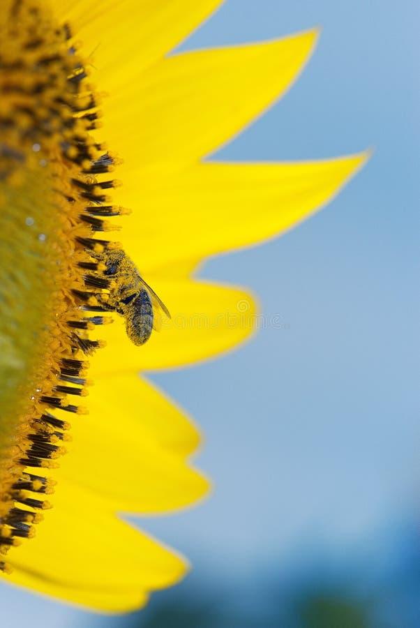 Honigbiene, welche die Sonnenblume bestäubt stockfoto