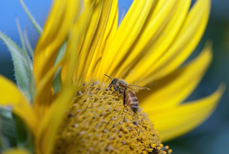 Honigbiene, welche die Sonnenblume bestäubt stockfotos