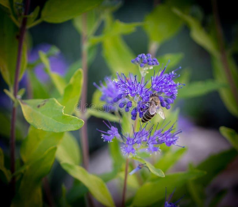 Honigbiene zieht auf purpurrote Blume mit natürlichem grünem Hintergrund ein stockbilder