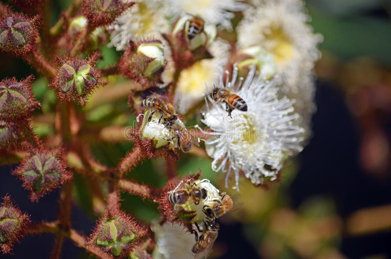 Honigbienen, die einen blühenden Eukalyptus bestäuben stockbilder