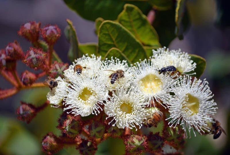 Honigbienen, die einen blühenden Eukalyptus bestäuben lizenzfreie stockbilder