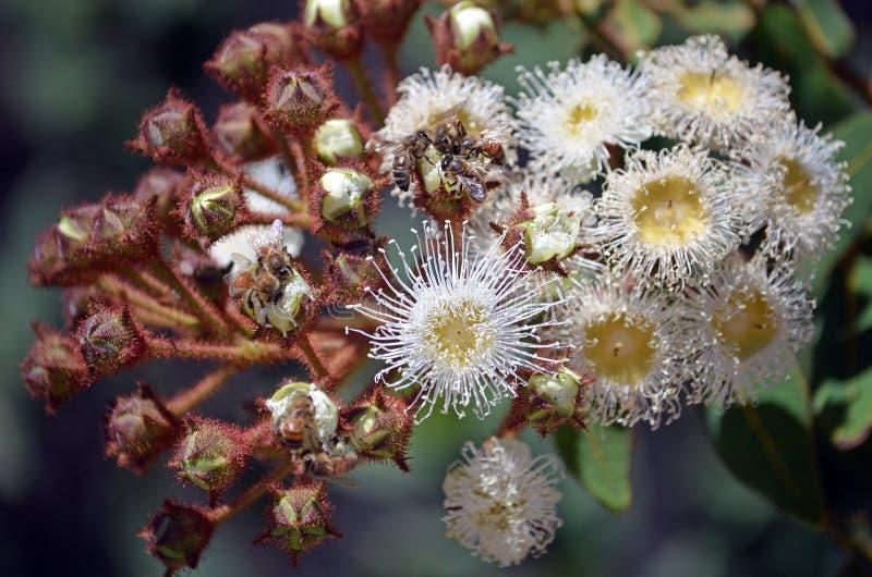 Honigbienen, die einen blühenden Eukalyptus bestäuben lizenzfreies stockbild