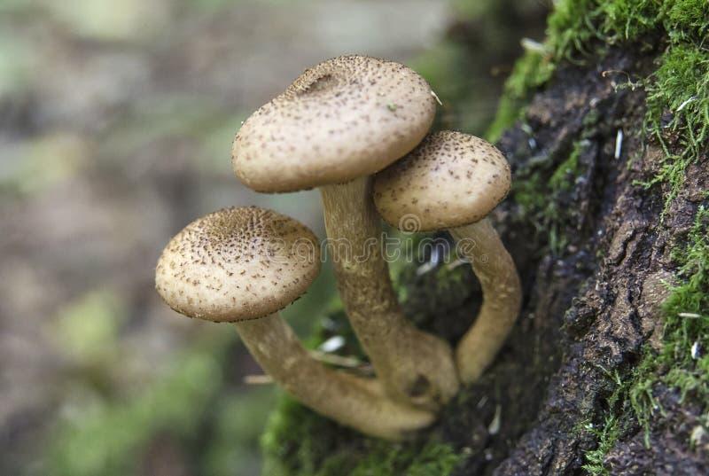 Honigblätterpilzpilze auf einem Baumstamm stockfotografie