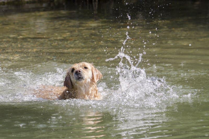 Honigfarbene goldene Retriever schwimmen in einem kleinen See stockfoto