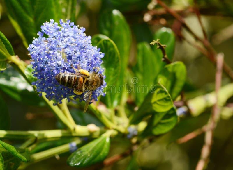 Honingbij die een blauwe ceanothusbloem onderzoeken royalty-vrije stock foto