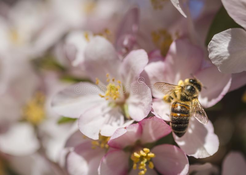 Honingbij die een cluster van de bloemen van de krabappel bestuiven stock afbeelding