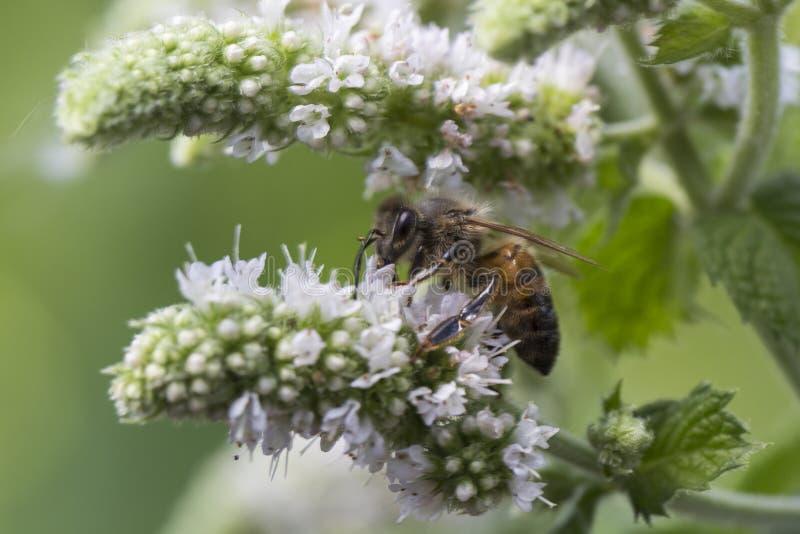 Honingbij die een muntbloem bestuiven stock afbeeldingen