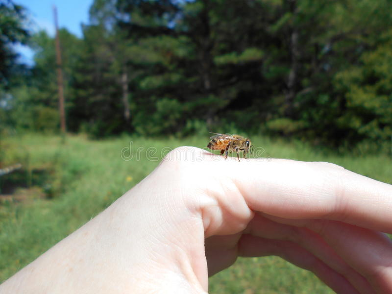 Honingbij die een onderbreking van het voederen nemen stock foto