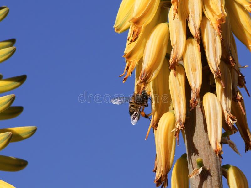 Honingbij die nectar op een gele bloem verzamelen royalty-vrije stock fotografie