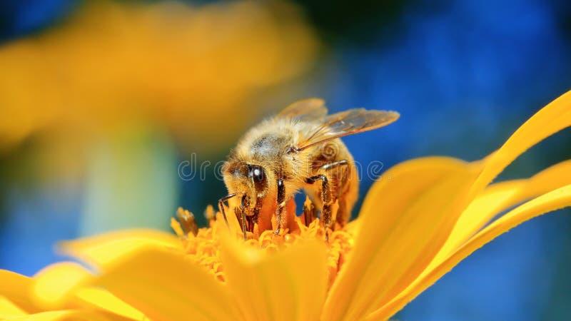 Honingbij en bloem stock foto's