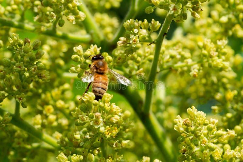 Honingbij het bestuiven op de Glanzende groenachtig gele bloemen van Sumac in volledige bloei De vergankelijke bloeiende boom van stock fotografie