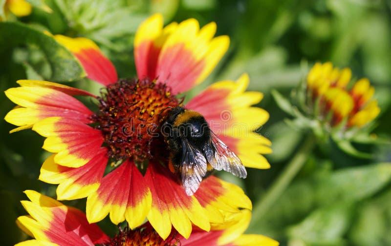 Honingbij het voeden op de stekelige meeldraad van een oranje en gele gallardibloem die in volledige bloei is royalty-vrije stock foto