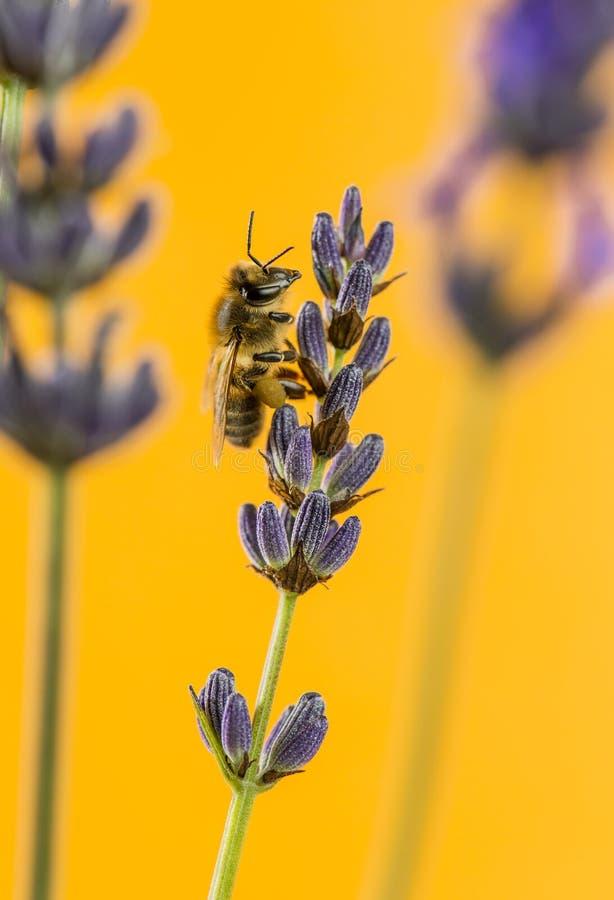 Honingbij het voederen op een lavander voor oranje backgroun stock fotografie