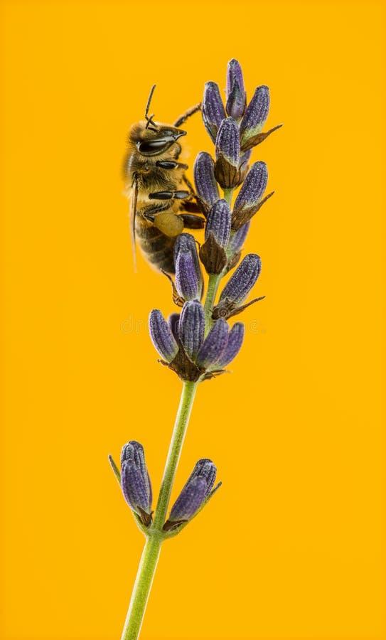 Honingbij het voederen op een lavander voor oranje backgroun stock foto