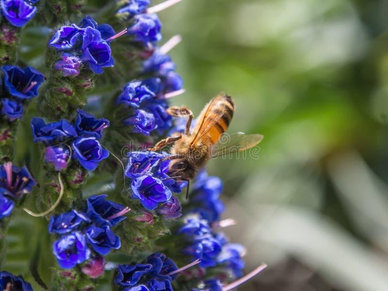 Honingbij op bloemen royalty-vrije stock foto