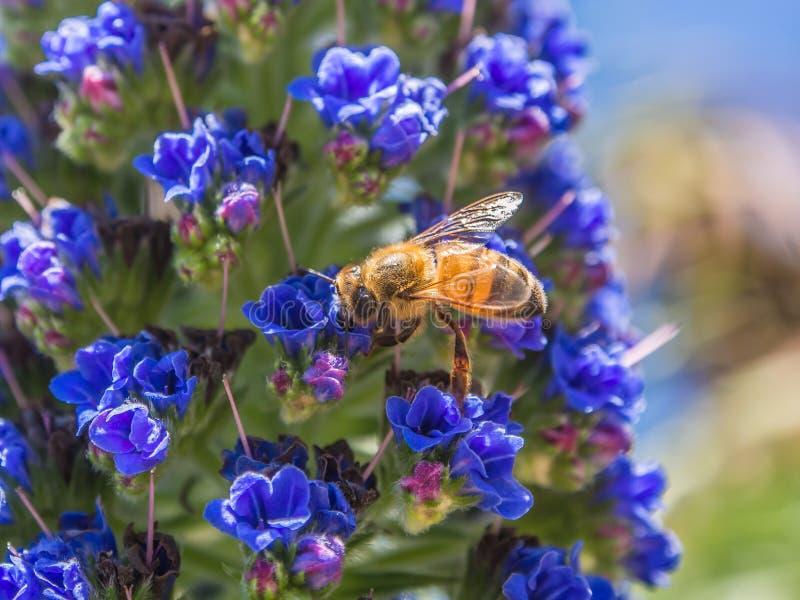 Honingbij op bloemen stock afbeeldingen