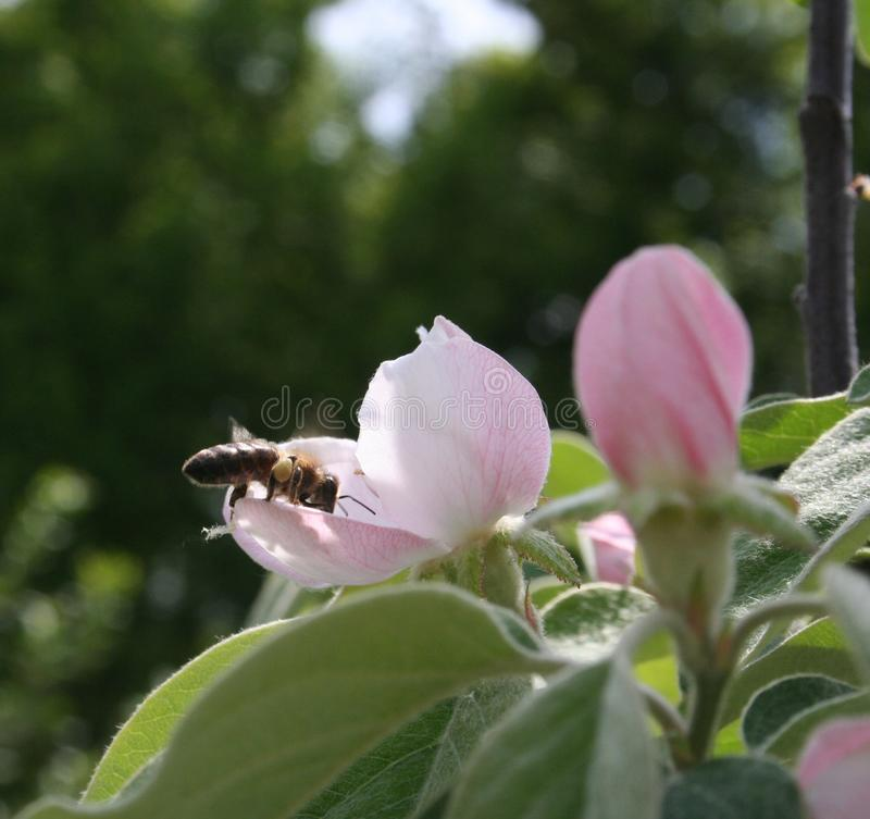 Honingbij op Cydonia stock fotografie