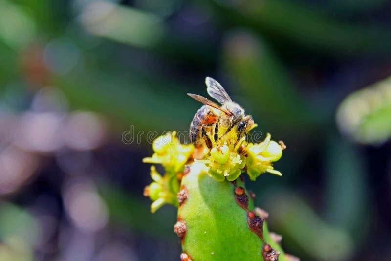 Honingbij op de bloemen van Afrikaanse Melkboom royalty-vrije stock foto